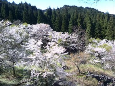 倉吉の桜 Ver.2016