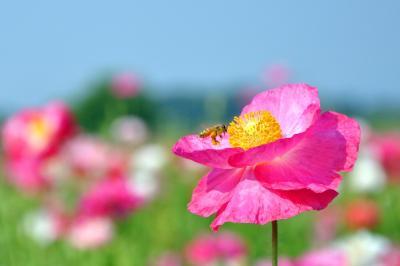 ポピー/poppy in 鴻巣