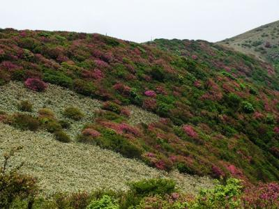 山並みがピンクに染まる!四国一のミツバツツジ山脈