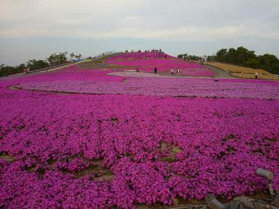 ピンクの芝桜で山が染まる