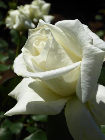 初夏の川口グリーンセンター♪ Vol2 咲き乱れるバラ♪