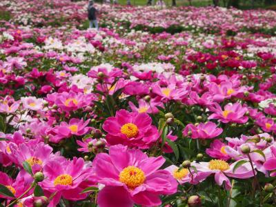 今年は連れ合いとふたりで・・・シャクヤクの楽園を愛でる・・・ ★色麻町・愛宕山農業公園★