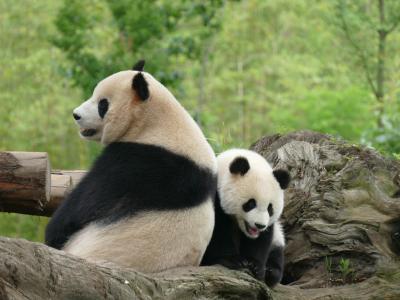 熊猫楽園(都江堰基地):パンダ抱っこは我慢!高いので…(T_T)
