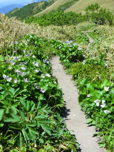 364-満開のシラネアオイ、花の山「伊達紋別岳」