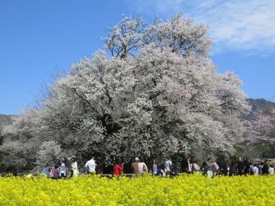 熊本:南阿蘇村 一心行の大桜