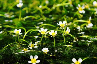 梅花藻とクリンソウを見に兵庫県に行ってきました!