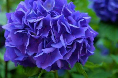 王子飛鳥山下の紫陽花を見たくて 中