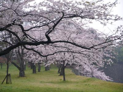 皇居でお花見(2016年4月)