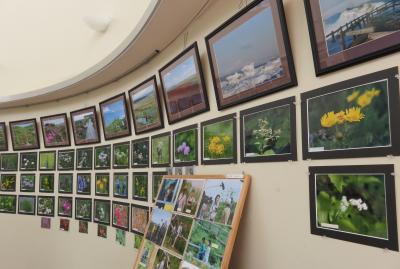 2016春、花と新緑の道東巡り(9/26):5月29日(5):小清水原生花園、展示館の写真パネル、野鳥、野草