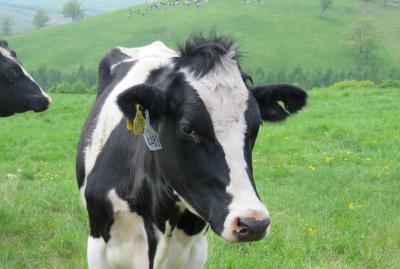 2016春、花と新緑の道東巡り(24/26):5月30日(4):上士幌、ナイタイ高原牧場、放牧の若牛、十勝展望台へ