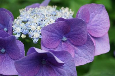 Colors4・・・近場で紫陽花を愛でる休日♪