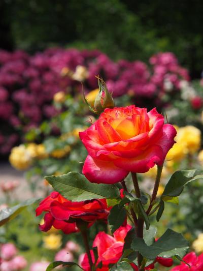 薔薇の楽園・・・今年はちょっと遅めになっちゃったけど・・・ ★東沢バラ公園★