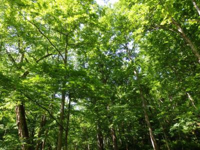 新緑が眩しい奥入瀬・八甲田をウォーキング