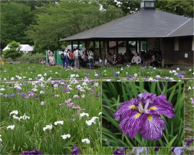 小さな旅 東村山北山公園の菖蒲苑2016 Iris Garden in Kitayama Park