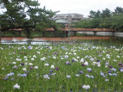 九華公園花菖蒲