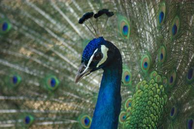 久留米市鳥類センター。かつて「千羽孔雀」が自慢で、羽根を広げた姿がいっぱい。白孔雀もいます。