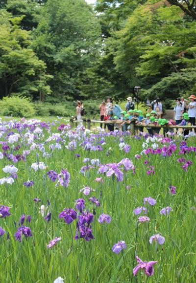 2016年初夏の東京花だより、都電荒川線沿線のバラ、明治神宮の花菖蒲、飛鳥山公園の紫陽花