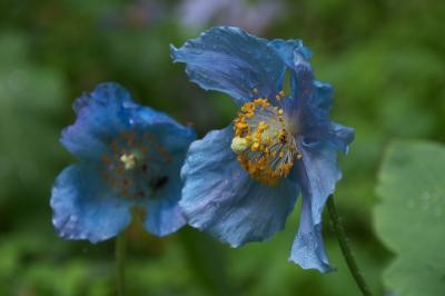 上三依水生植物園(ヒマラヤの青いケシ)