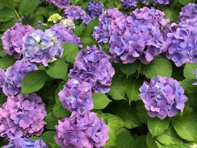 紫陽花の綺麗な季節☆府中郷土の森博物館
