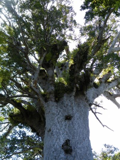 ワイポウワ国立公園に樹齢2000年以上のタネマフタ(森の神)に会いに行く・・・・・・