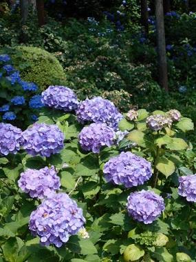 紫陽花   IN  薬王寺