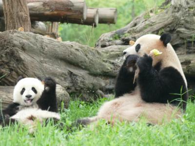 はたして、四川省に長期滞在できるか?(2)熊猫楽園