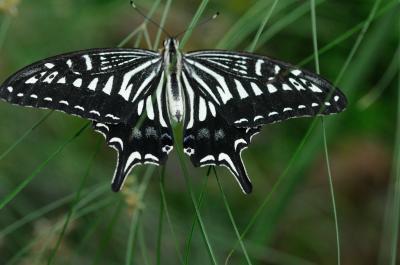 伊丹市昆虫館 蝶々が1,000匹舞うチョウ温室が凄い モスラーが可愛いですね