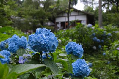 京都大原三千院で紫陽花を鑑賞