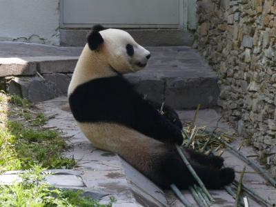はたして、四川省に長期滞在できるか?(3)臥龍中華大熊猫苑 神樹坪基地