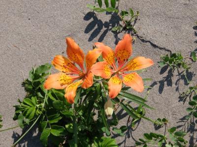 北海道・道東 花へんろ・・・(6)「天に続く道」で以久科・小清水原生花園へ