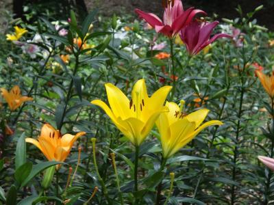 色とりどりのゆりが咲く丘~所沢のゆり園