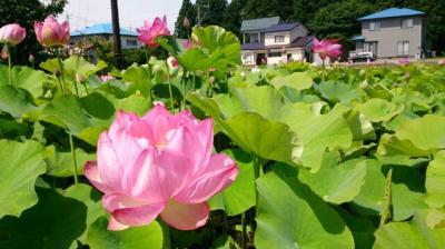 今が見頃の蓮の花『長照寺』