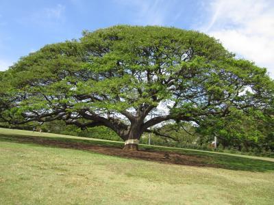 この木なんの木: モアナルア・ガーデン(Moanalua Gardens)