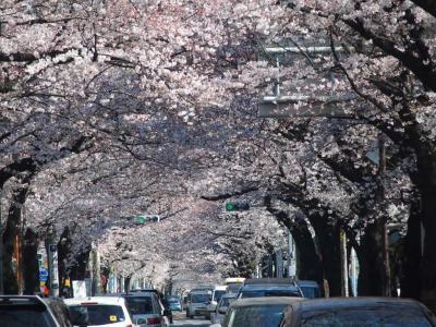 吉祥寺 桜のトンネル
