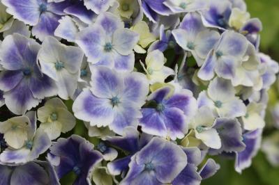 雨引観音の紫陽花