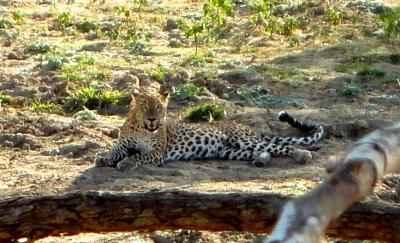 ヤーラ国立公園にてスリランカ豹に遭遇