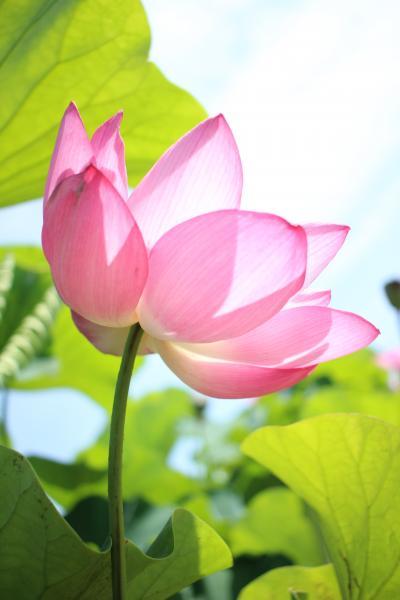 お盆も近いので 森川花ハス田のハスの花をどうぞ