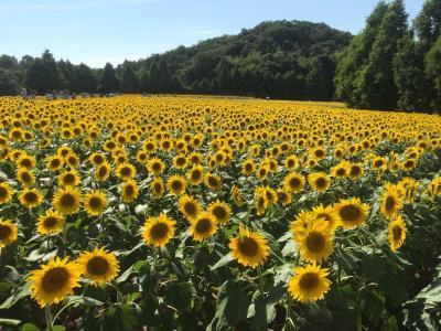 広島☆世羅高原農場のひまわり
