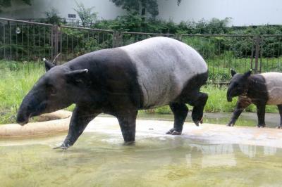 今年も朝から晩までナイトズーの多摩動物公園で10時間半(1)アジア圏その1:ママと一緒に泳ぎに励むマレーバクのコウくんや多摩では初めてのツキノワグマほか