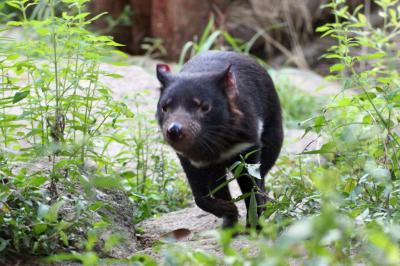 今年も朝から晩までナイトズーの多摩動物公園で10時間半(2)アフリカ・オーストラリア圏:多摩ではまともに見たのは初めてのサーバルキャットの親子や初めましてのタスマニアデビルの姉妹ほか