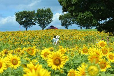 愛知牧場花のバトンリレー♪ ひまわりからキバナコスモスへと