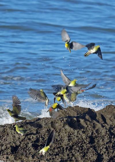 野鳥撮影記録(2016年8月⑤)大磯
