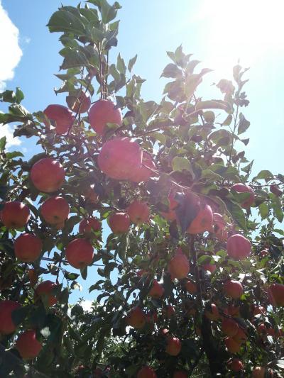 「韓牛とリンゴ祭り」に行ってきました