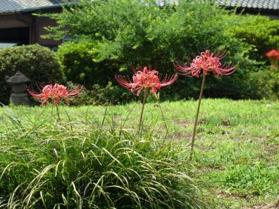 恩林寺の彼岸花_2016(1)_咲き始めていますが、ほんの少しだけ(群馬県・邑楽町)