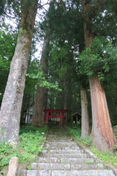 嬬恋にて大きい杉をみつけた