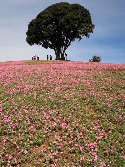 富津1/3  マザー牧場 花の谷 《桃色吐息》 見ごろ ☆ペチュニアの新品種