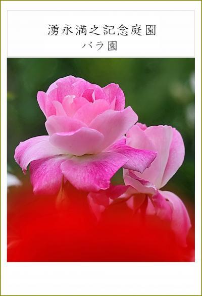 Solitary Journey [薔薇特別編] 薔薇は豪華で見応えがある初夏を彩る花です。モネゆかりの睡蓮も観賞♪<湧永庭園バラ園> 広島県安芸高田市