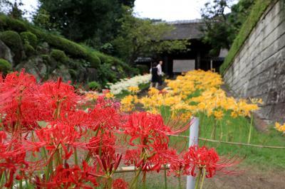 西方寺の彼岸花、赤白黄の揃い咲き・・・
