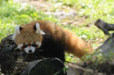 レッサーパンダのルカちゃん 生まれて3ヶ月目 とても可愛い姿でした 【大阪府岬町 みさき公園】