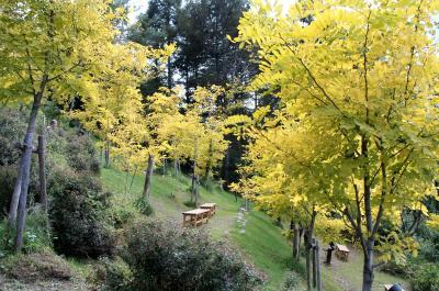 秋空に映える黄葉・白樺高原「黄金アカシアの森」!!車山スカイパークで欧風料理の昼食